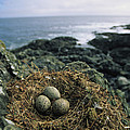 Glaucous-winged Gull Nest With Three by Joel Sartore