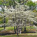 Glenna's Dogwood In The Spring by Tisha Clinkenbeard