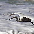 Gliding Snowy Egret by Joe Schofield