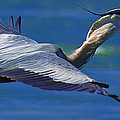 Gliding Great Blue Heron by Sebastian Musial