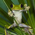 Gliding Leaf Frog Agalychnis Spurrelli by Pete Oxford
