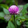 Globe Amaranth Bicolor Rose by Susan Herber