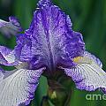 Glorious Iris by Byron Varvarigos