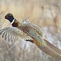 Glorious Pheasant Cock by David C Stephens