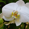 Glorious White Orchid by Andee Design