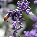 Glowing Bee In Purple Flowers by Carol Groenen