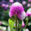 Glowing Globe Amaranth by Susan Herber