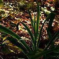 Glowing Iris Plant 3 by Douglas Barnett