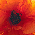 Glowing Poppy by Tikvah's Hope