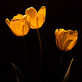 Glowing Tulips by Ed Gleichman