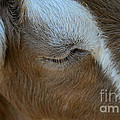 Goat Dreams by Susan Herber