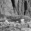 Goat Herd On Mount Evans by David Bearden