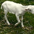 Goat by Jenn Lamond