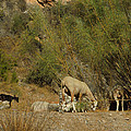 Goat Meeting In Spain by Colette V Hera  Guggenheim