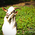Goat Smiles by Cheryl Baxter