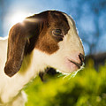 Goat by TC Morgan Photography