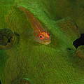 Goby On A Coral, Australia by Todd Winner