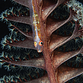 Goby On A Sea Pen, Indonesia by Todd Winner