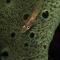 Goby On A Sponge, Fiji by Todd Winner