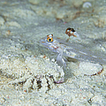 Goby With A Hermit Crab, Australia by Todd Winner