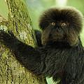 Goeldis Monkey Callimico Goeldii by Thomas Marent