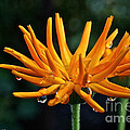 Gold Fingers by Susan Herber