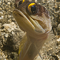 Gold-speck Jawfish Pouting, North by Mathieu Meur