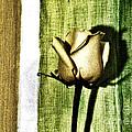 Gold Tulip by Marsha Heiken