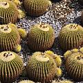 Golden Barrel Cactus 2 by Rich Bodane