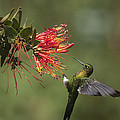 Golden-breasted Puffleg Eriocnemis by Murray Cooper