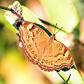 Golden Butterfly by Douglas Barnard