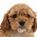 Golden Cockerpoo Puppy by Mark Taylor