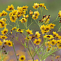 Golden Coreopsis Tickseed Wildflowers by Kathy Clark