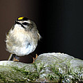 Golden-crowned Kinglet by Optical Playground By MP Ray