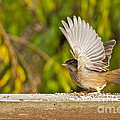 Golden Crowned Sparrow by Sean Griffin