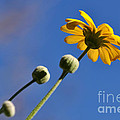 Golden Daisy On Blue by Kaye Menner