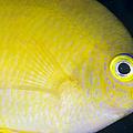 Golden Damsel Close-up, Papua New by Steve Jones
