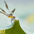Golden Dragonfly On Water Lily Leaf by Bonnie Barry