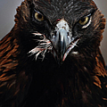 Golden Eagle Feeding by Pat Gaines