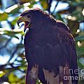 Golden Eagle II by Frank Larkin