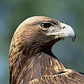 Golden Eagle In Profile by Konrad Wothe