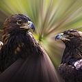 Golden Eagles by Steve McKinzie