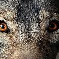 Golden Eyes by Kim French