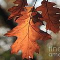 Golden Fall Leave's Close Up by Robert D  Brozek