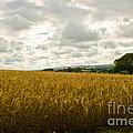 Golden Field by Brian Roscorla