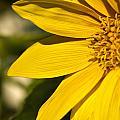 Golden Flower 1 by Douglas Barnett
