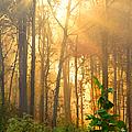 Golden Fog Thru The Trees by Randall Branham