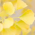 Golden Ginko by Margaret Pitcher