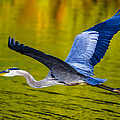 Golden Heron by Brian Stevens