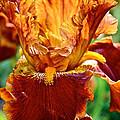 Golden Iris by Susan Herber